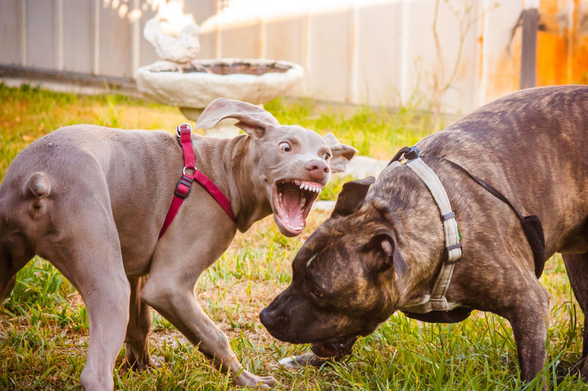 Animal Animal Head  Animal Themes Brown Canine Canine Companion Dog Dog Love DogLove Doglover Dogoftheday Dogs Dogs Of EyeEm Dogs Playing  Dogs Playing Together Dogslife Dogstagram Dog❤ Domestic Animals German Weimaraner Outdoor Playtime Outdoors Playing Outside Two Animals Young Animal