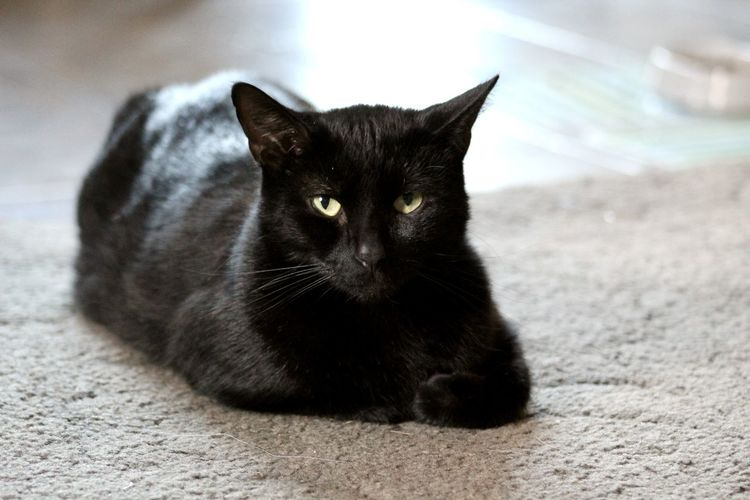 Alfie the Cat. Animal Themes Black Color Cat Close-up Day Domestic Animals Domestic Cat Feline Feline Companions Feline Portraits Indoors  Looking At Camera Mammal No People One Animal Pets Portrait Sitting Whisker