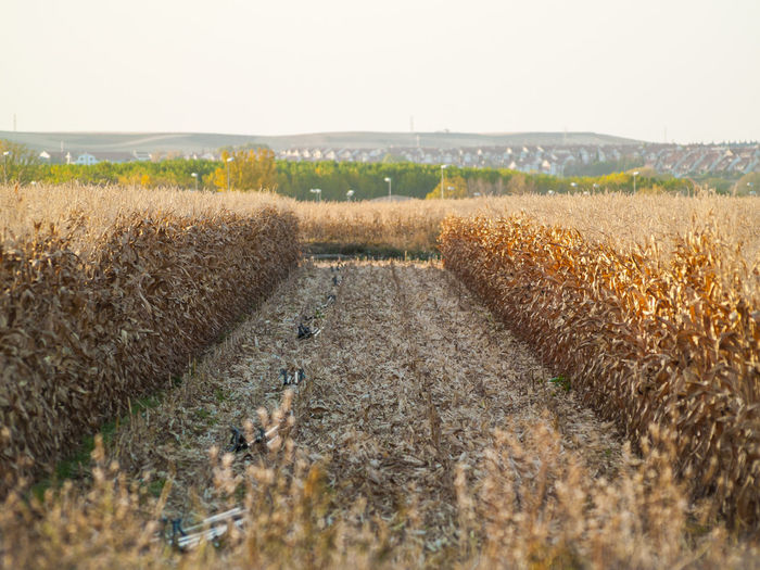 Agriculture Cereal Rural Agricultural Land Agriculture Agriculture Photography Cereal Plant Corn Corn Field Cornfield Crop  Crop  Cropped Environment Farm Field Growth Harvest Harvesting Landscape Outdoors Reap Rural Landscape Rural Scene