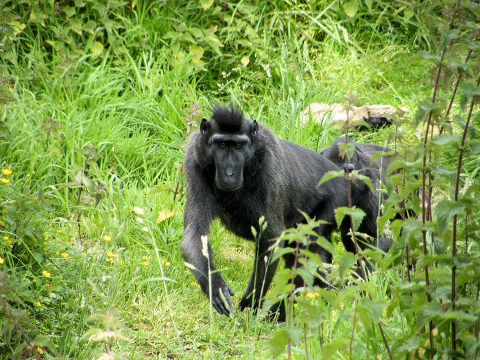 Durrell Wildlife Park Sulawesi Sulawesi Macaque Animal Themes Animal Wildlife Black Macaque Day Grass Macaque Macaque Monkey Mammal Nature No People One Animal Outdoors