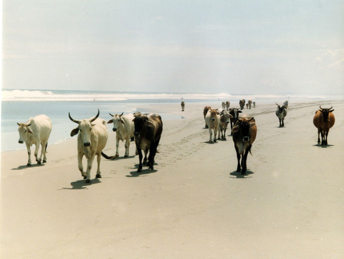 Cow beach Animal Themes Beauty In Nature Cattle Cattle On The Beach Cow Day Domestic Animals Domestic Cattle Farm Animal Landscape Large Group Of Animals Livestock Mammal Nature No People Outdoors Sky
