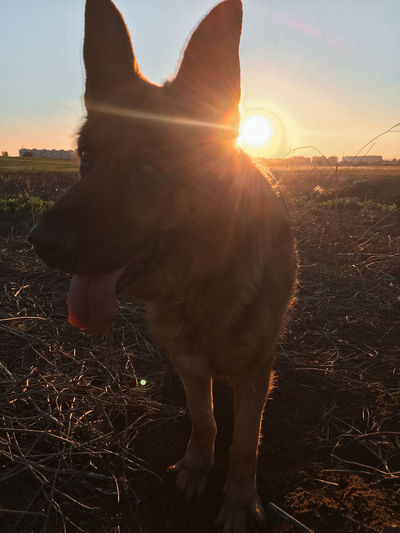 View of dog at sunset