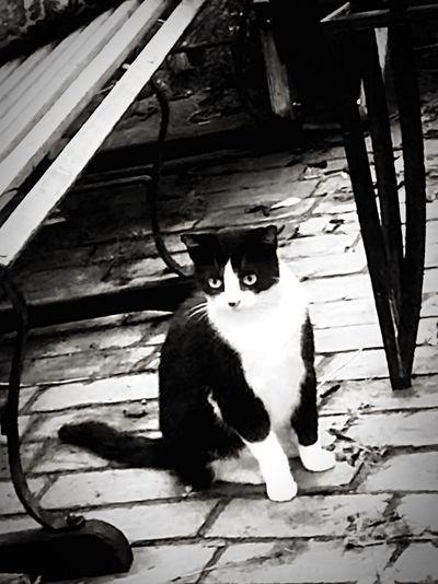 Black&white cat
