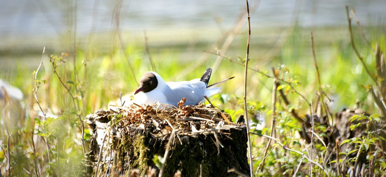 Black-Headed Gull Perching On Tree Stump On Field