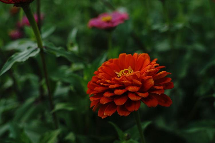 Close-up of red orange flower