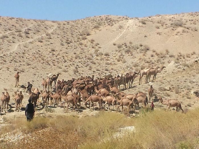 EyeEmNewHere Camels Valley Of Hanna Balochistan Pakistan Enjoying The Sights With Family EyeEmNewHere Go Higher Summer Exploratorium