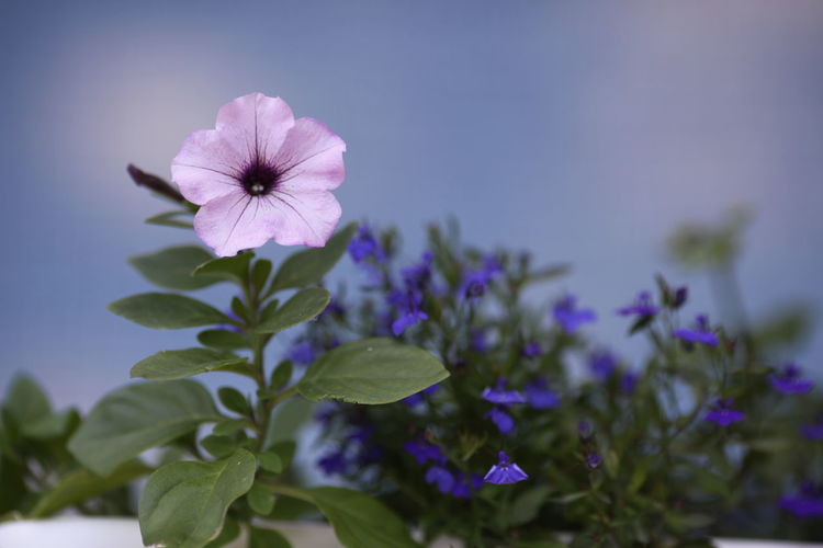 Flower Flowering Plant Freshness Plant Fragility Vulnerability  Petal Beauty In Nature Flower Head Inflorescence Growth Close-up Nature No People Focus On Foreground Purple Selective Focus Outdoors Blue Plant Part