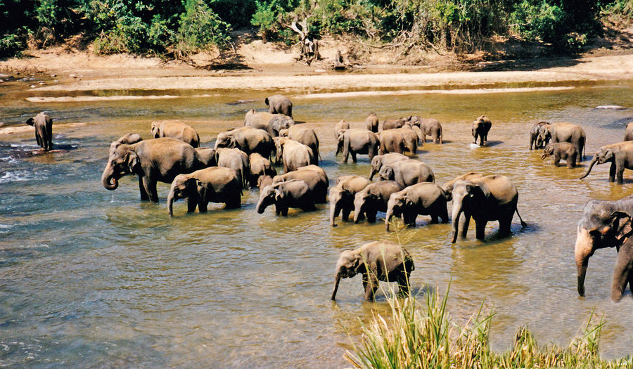 Elephants bathing in River, near Kandy, Sri Lanka Water Nature Tree Day Outdoors Elephant Togetherness Herd Mammal No People Animals In The Wild African Elephant Animal Themes Animal Wildlife Safari Animals Large Group Of Animals Kandy, Sri Lanka Elephants Bathing In River Autumn Mood