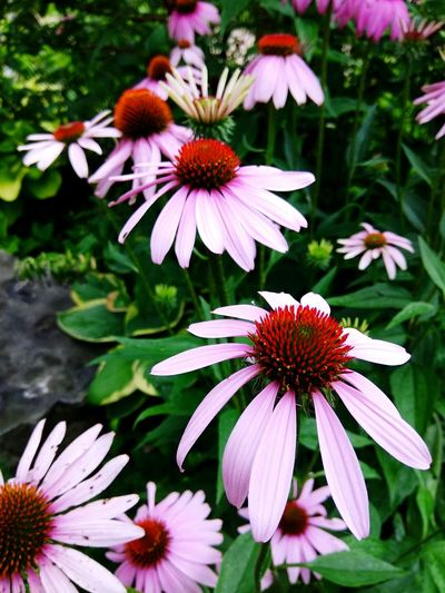 Floral Ballerinas ~ Flower Eastern Purple Coneflower Coneflower Fragility Pink Color Day Plant Petal Focus On Foreground Pollen Nature Purple Outdoors No People Flower Head Beauty In Nature Freshness Close-up Blooming EyeEm Nature Lover Sommergefühle Petals🌸 South Africa Cape Province Coneflowers