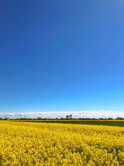 Field Colza Rapeseed Yellow Nature Sky Horizon Blue Beauty In Nature Flower Landscape Land Agriculture Scenics - Nature Environment Tranquil Scene Copy Space Rural Scene Plant Oilseed Rape Flowering Plant Tranquility Crop  Vibrant Color No People Springtime Outdoors Flowerbed
