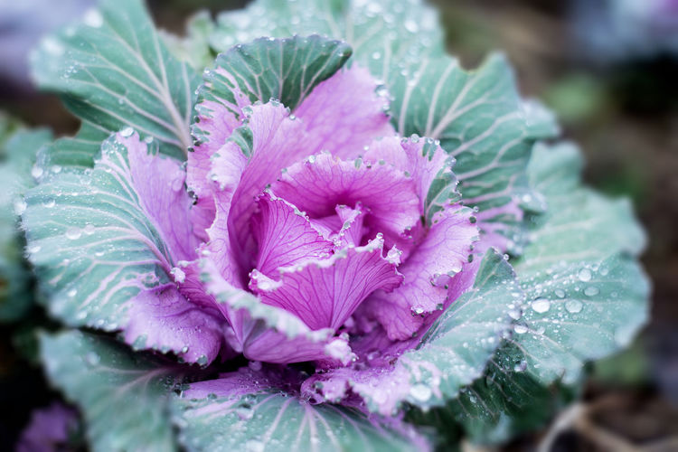 Close-up of water drops on cabbage