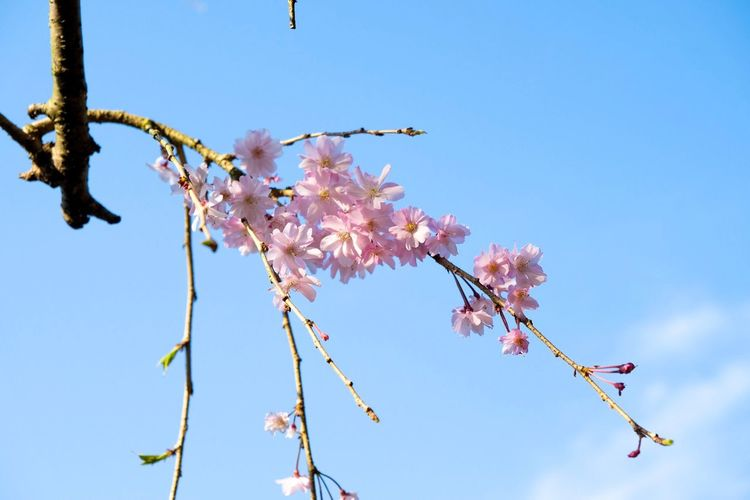 Sakura Japan Cherry Blossoms Sakura Fragility Low Angle View Branch Blossom Blooming Growth Freshness Botany Outdoors Pink Color