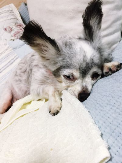 眠い だるい 熱中症 老犬 チワワ Dog Pets Domestic One Animal Domestic Animals Mammal Animal Themes Animal First Eyeem Photo