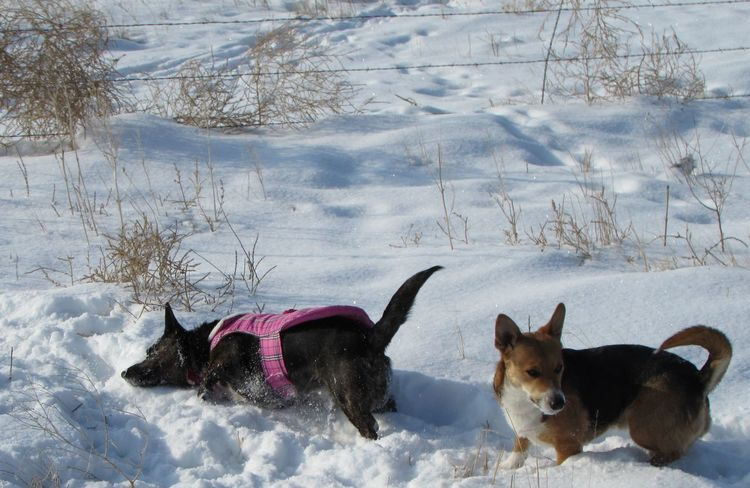 Cold Cold Day Cold Days Cold Winter ❄⛄ Coldweather Corgi Corgi :) Cute Cute Dog  Cute Dogs Cute Pets Cute♡ Dog Dogs Dogslife Outdoors Snow Snow Covered Snow Day Snow ❄ Snowing Snowy Weather Welsh Corgi Winter