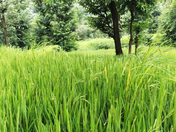 Growth Beauty In Nature Day Tree No People Cereal Plant Tranquility Rice Paddy Rural Scene Outdoors Grass Agriculture Field Nature Green Color Crop  Tranquil Scene Scenics Plant Landscape Lost In The Landscape