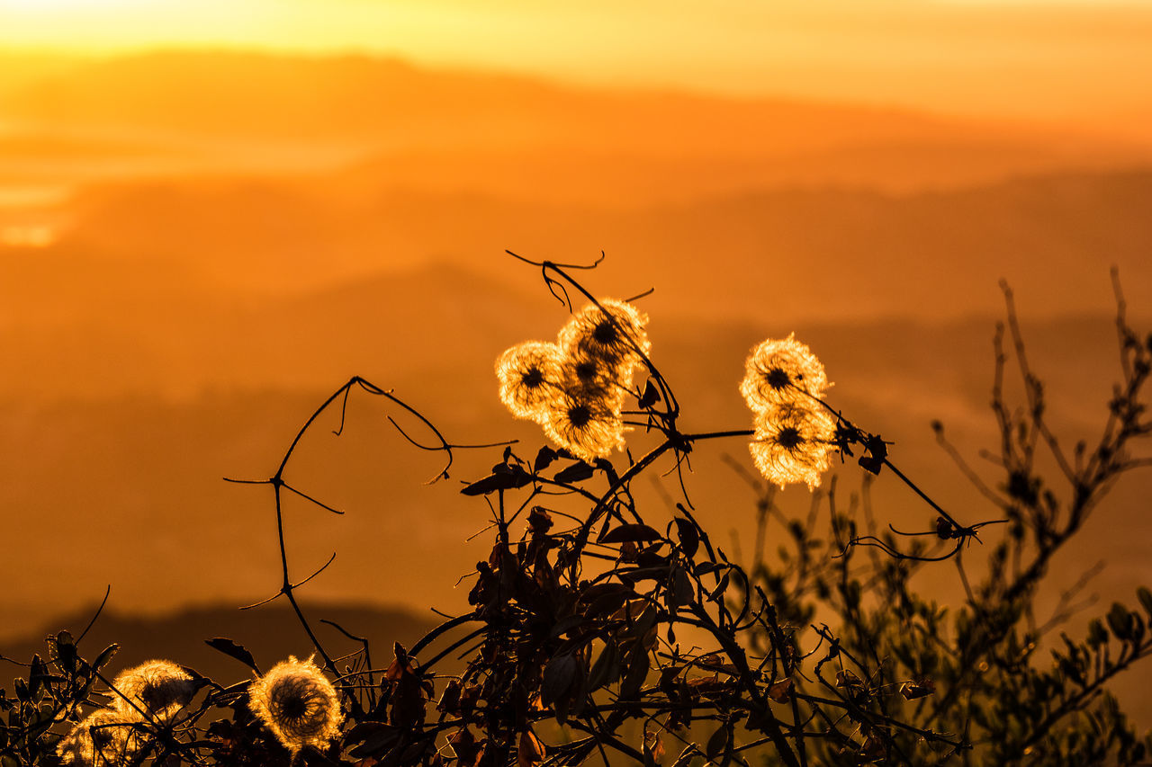 Dandelion Flowers On Field During Sunset