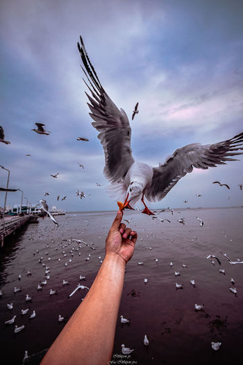 Hand Bird Human Hand Flying Spread Wings Vertebrate One Person Human Body Part Animals In The Wild Seagull Animal Wildlife Real People Mid-air One Animal Nature Feeding  Sky Body Part Finger Outdoors Flapping