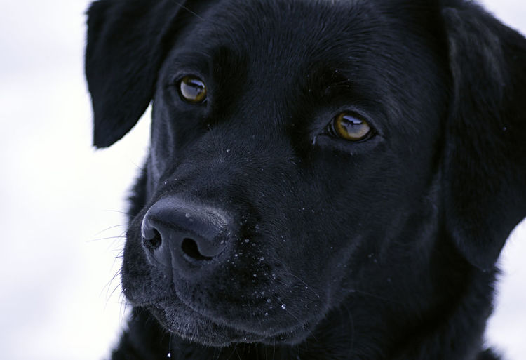 A portrait of a beautiful black labrador looking at the owner while playing in the snow Hair Happiness Happy Labrador Tarvisio Winter Animal Cold Dog Female Fur Glance Italy Joy Look Looking Mammal Outdoor Pet Play Playing Portrait Puppy Retriever Snow