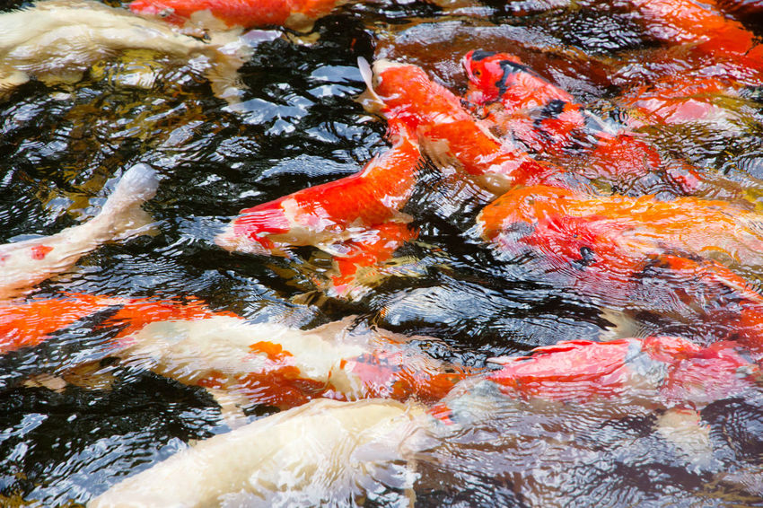 colorful koi carp fish group swimming in pond Koi Animal Themes Animals In The Wild Carp Carp Fish Close-up Day Fish Koi Carp Koi Fish Koi Pond Large Group Of Animals Nature No People Outdoors Sea Life Swimming Water