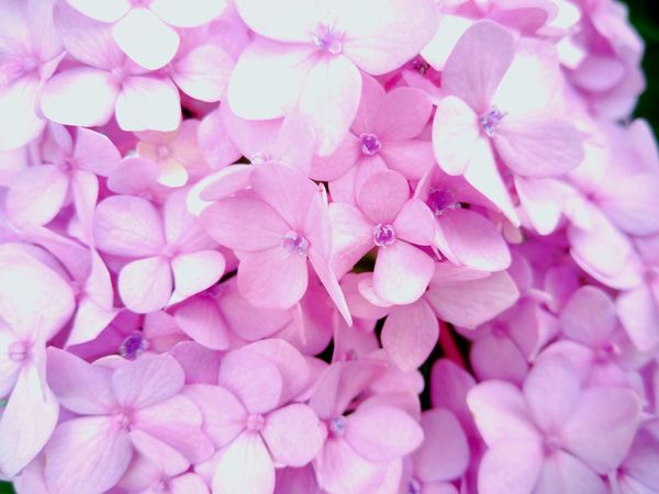 #photography #flower  #PurpleFlower Pink Color Close-up