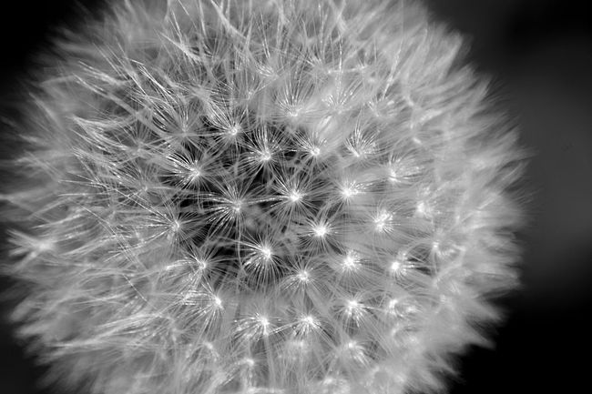 dandelion Blackandwhite Blackandwhite Photography Blowball Bw Dandelion Dandelions Pusteblume Pusteblumen Schwarz & Weiß Schwarzweiß
