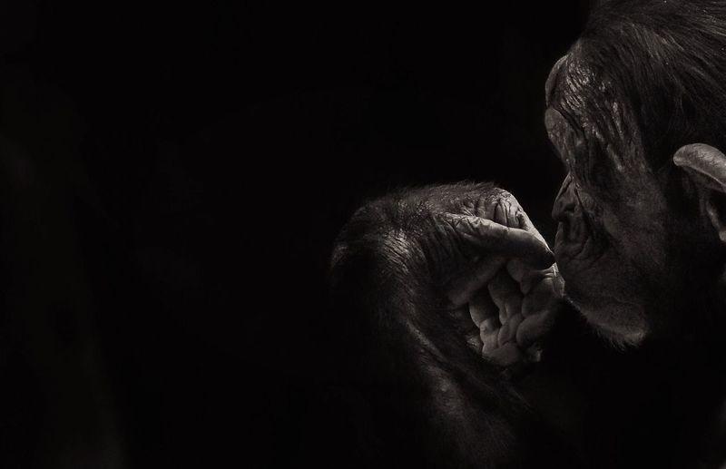Close-up of chimpanzee against black background