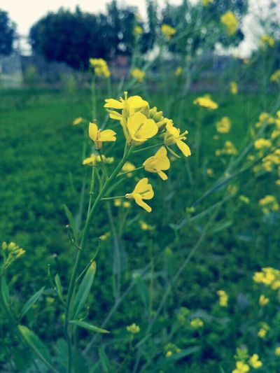 Beauty Of PUNJAB,INDIA The Great Outdoors - 2017 EyeEm Awards Authentic Moments Garden Photography Flower Farm Crops Green Color BYOPaper! The Photojournalist - 2017 EyeEm Awards Neon Life Paint The Town Yellow