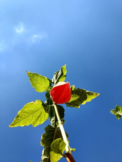 Low angle view of red plant against blue sky