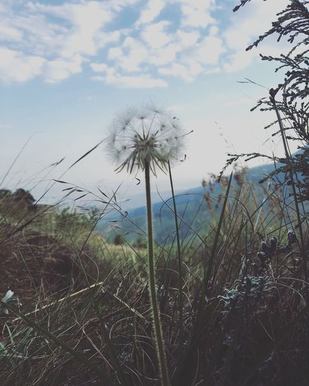 Dandelion Southafrica Hogsback Nature Grow