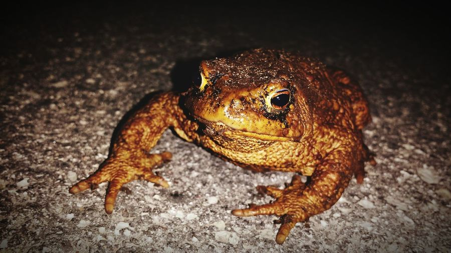 Close-Up Of Toad On Field At Night