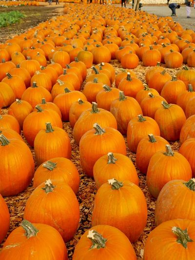 High angle view of pumpkins in field