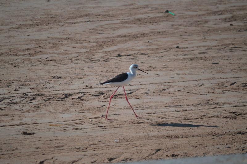 Black-Winged Stilt Walking On Sand At Beach