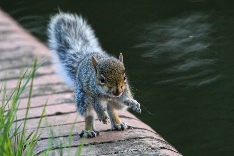 Young gray squirrel by lake