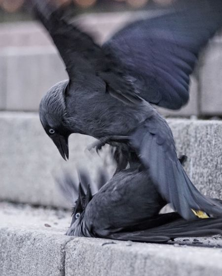 Close-up of birds fighting on steps