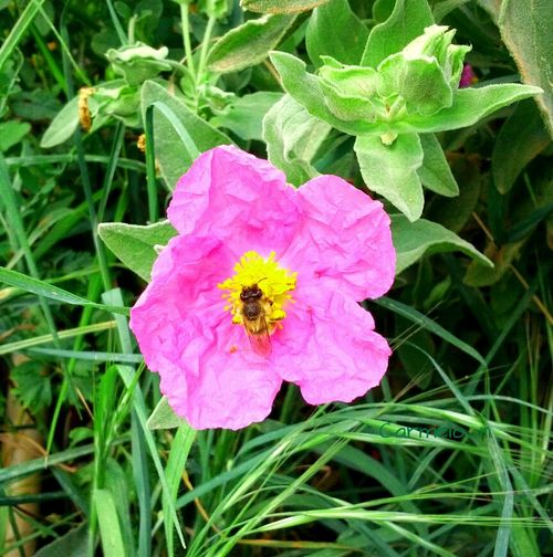 Flower Bee Flor Abeja