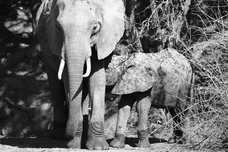 South Luangwa, Zambia Africa Animal Family Animal In Wild Animal Instincts Animal Love Animal Themes Black And White Elephant Elephant Baby Elephant Family Family Herbivorous Mammals Protection Protection Of Mother Safari Animals Togtherness Wildlife