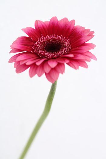 African Daisy Flower Petal Fragility White Background Flower Head Freshness Beauty In Nature Close-up Pink Color Plant