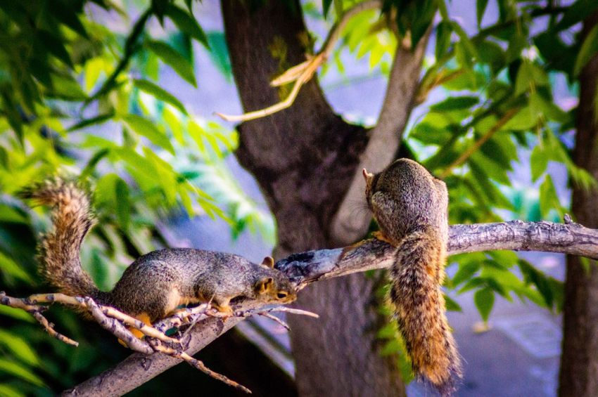 A squirrel looking for an escape route behind another squirrel on a tree branch. Squirrel On A Branch Animal Couple Animal Lovers Squirrel Photography Squirrel In A Tree Nature In The City Two Squirrels Squirrel Life Fox Squirrel EyeEm Selects Animal Animal Themes Animals In The Wild Animal Wildlife Plant Green Color Focus On Foreground Plant Part