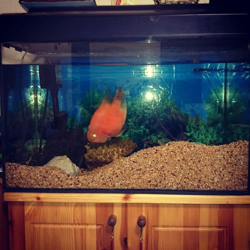 一週間ぶりに見たら城壁を築いておったパルパル Aquarium Tropical Fish Wall Cute