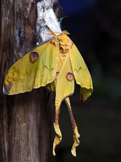 African Moon Moth Afrikanischer Mondspinner Argema Mimosae Botanischer Garten Imago Macro Pupa Puppe Tropische Schmetterlinge