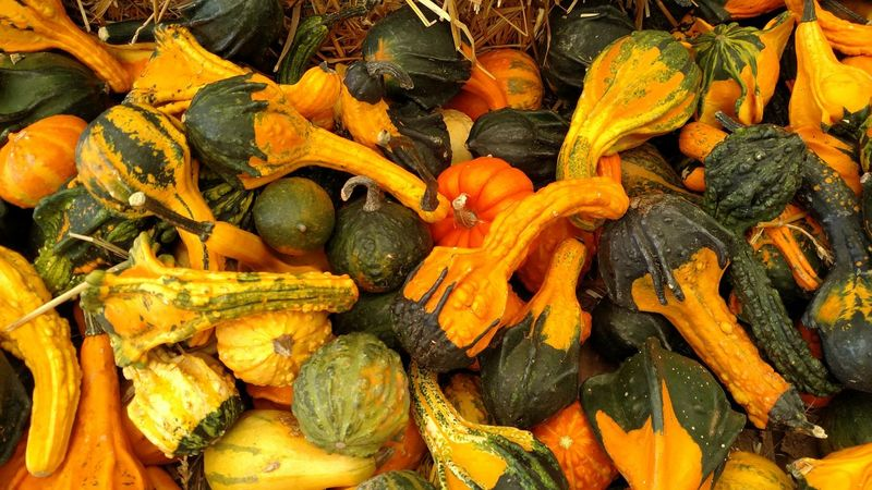 Gourds Gourds Pumpkins Autumn Fall Fall Colors Full Frame Backgrounds Freshness Food And Drink Food Large Group Of Objects Abundance Healthy Eating Variation Vegetable Choice Yellow Heap Organic Orange Color Day Retail Display Retail  Vibrant Color Nature