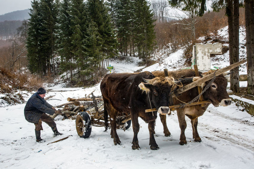 Animal Themes Beauty In Nature Cold Temperature Day Domestic Animals Forest Frozen Full Length Mammal Nature One Person Outdoors Oxen People Snow Snowing Tree Warm Clothing Weather Winter Yoke