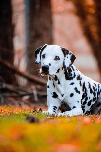 Dalmatian Dog Relaxing On Grassy Field