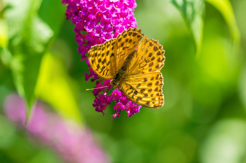 Close-up of a beautiful Orange Silver-washed fritillary (Argynnis paphia) Butterfly on a purple Flower in the Summertime. Proboscis Argynnis Argynnis Paphia Calm Nature Plant Part Silver-washed Fritillary Summertime Sunlight Animal Wing Beauty In Nature Botany Butterfly Butterfly - Insect Close-up Flower Focus On Foreground Garden Insect No People Orange Color Pollination Purple Scenics - Nature Spots Vulnerability