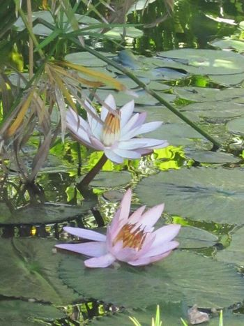Waterlilies Waterlilypond Flowers,Plants & Garden Flowers Flowers, Nature And Beauty