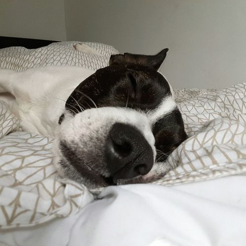 FirstEyeEmPic Firsteyeemphoto Dog❤ Jackrussellcross Dogmodel Dogslife Bestone Doglife Sleeping Dog Dog First Eyeem Photo