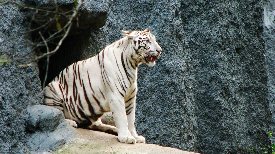 The white tiger! Wildlife Wildlife Photography Taking Photos Travel Photography EyeEmbestshots Check This Out Nice Views Forest Elegant Tiger