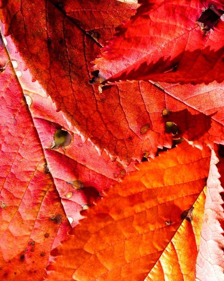 Leaf Autumn Change Nature Red Dry Day Outdoors Beauty In Nature No People Close-up Climbing Branch Cherry Cherry Leaf Macro Fall Fall Colors EyeEmNewHere