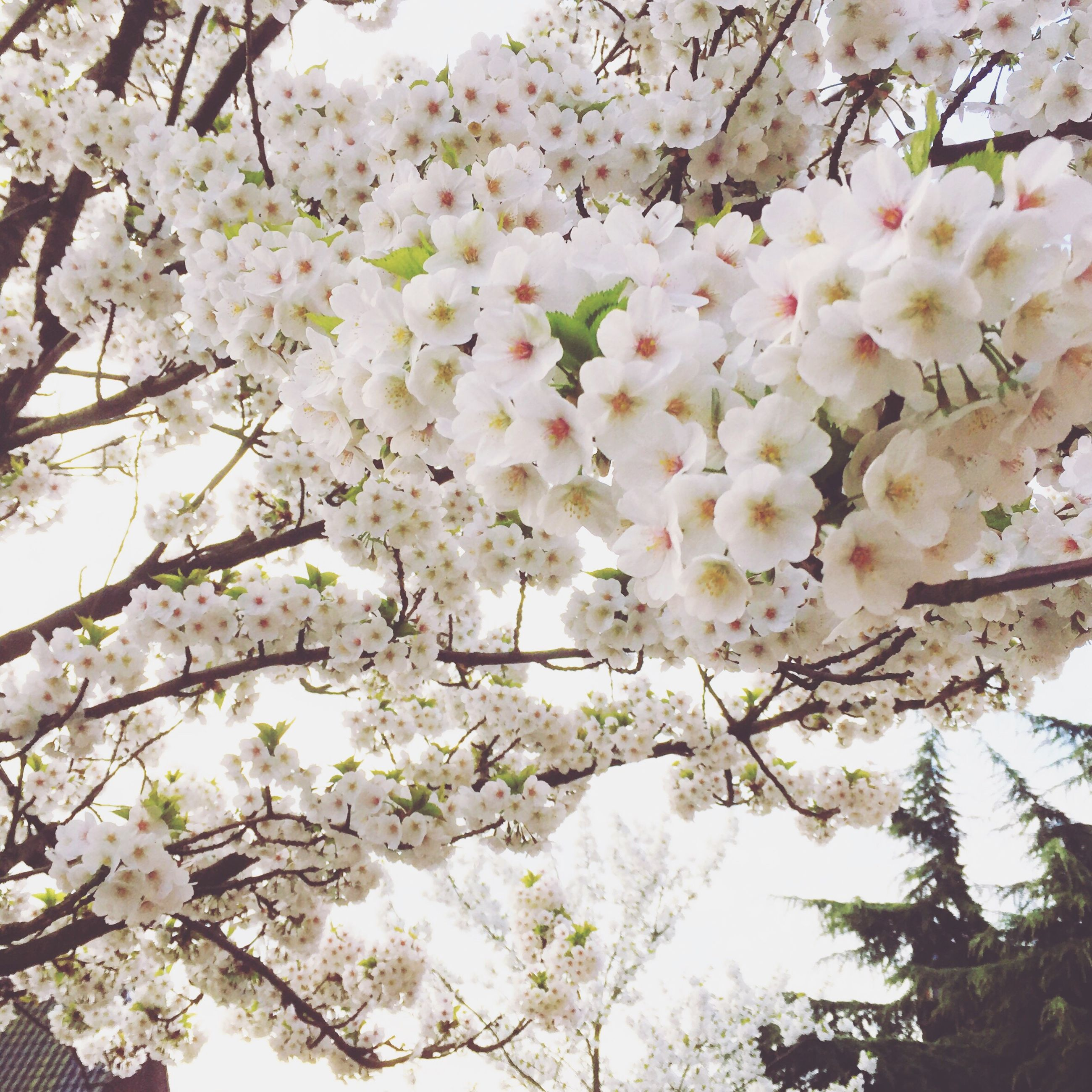 growth, tree, nature, flower, springtime, blossom, beauty in nature, freshness, branch, fragility, no people, outdoors, low angle view, close-up, day, cherry tree, flower head