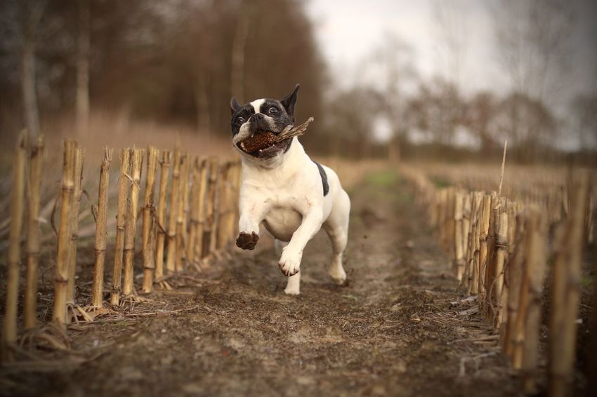 Action Shot  Action Shots Corn Field Dog In Action Dog Photography Französische Bulldogge  Französische Bulldogge Hat Spaß Französische Bulldogge Im Maisfeld French Bulldog French Bulldog Having Fun French Bulldog In Corn Field Frenchbulldog Frenchbulldogs Fun Hund In Aktion Hundefotografie Nature Outdoors Pets Playing Dog Rennender Hund Running Dog Running French Bulldog Spielender Bully Spielender Hund